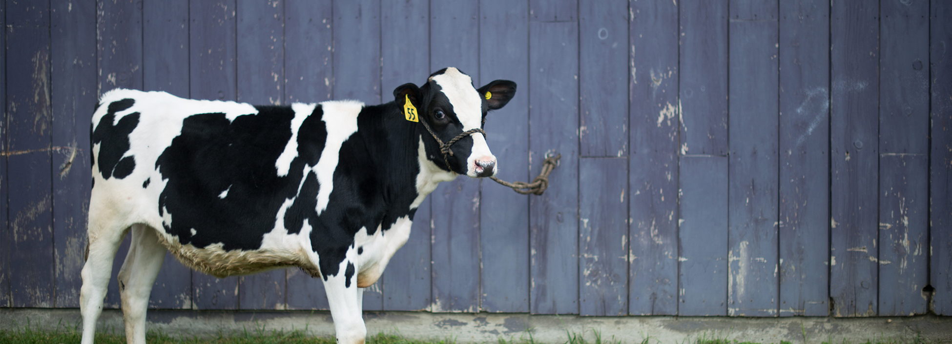 A cow stands in front of a Vermont Technical College barn
