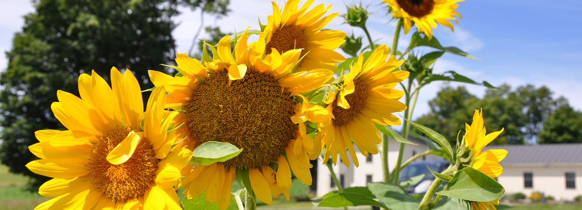 Sunflower grown by Vermont Tech's Ag Institute