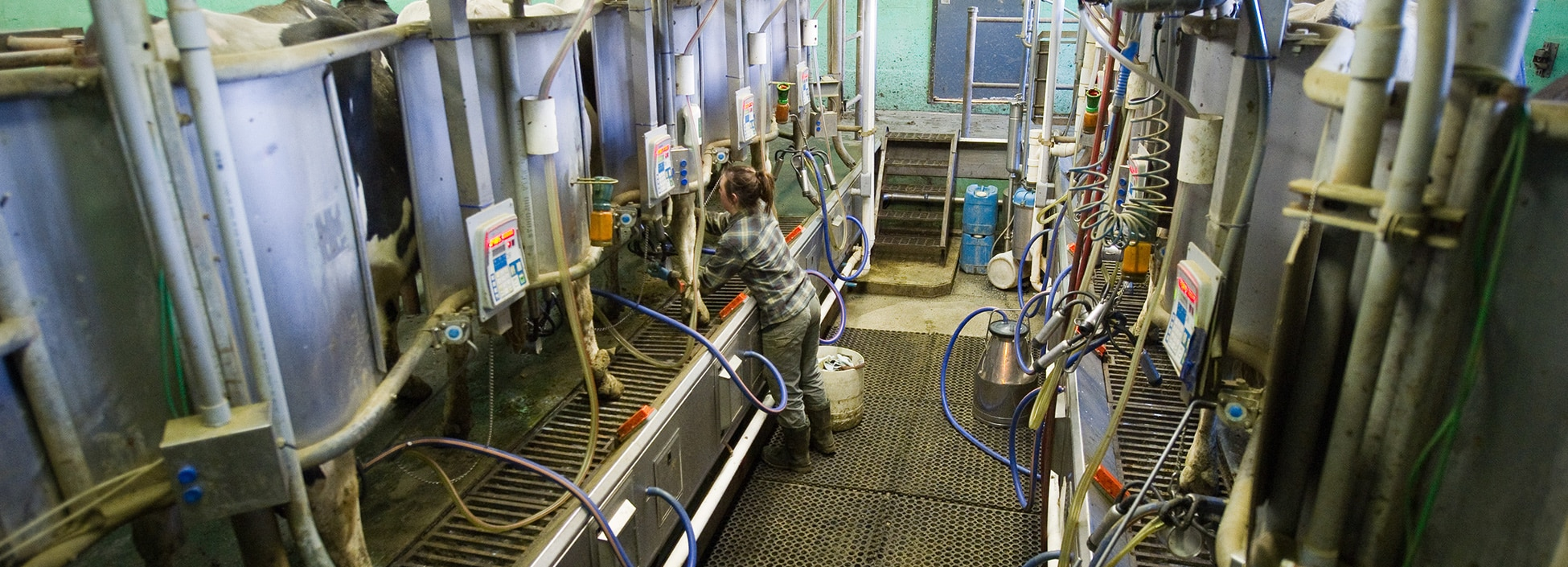 Vermont Tech dairy program milking equipment, VTC farm, agriculture, student workers, hands on