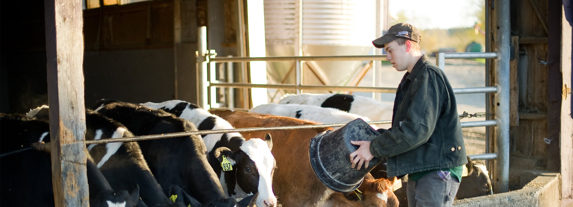 An Agribusiness Management student feeds the cows at the Vermont Tech Dairy Barn, hands on, agriculture