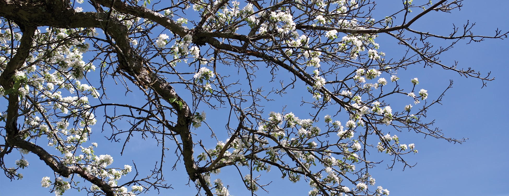 White spring flowers on a Vermont Tech apple tree