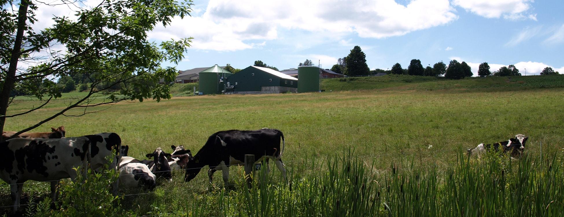 Cow, field, sunshine, mountain