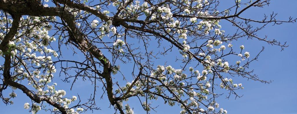 Apple Tree, flowers, spring, Randolph Center campus.